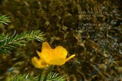 Fleur sur un ru du Praz-de-Lys, Haute-Savoie. Poème aux femmes.